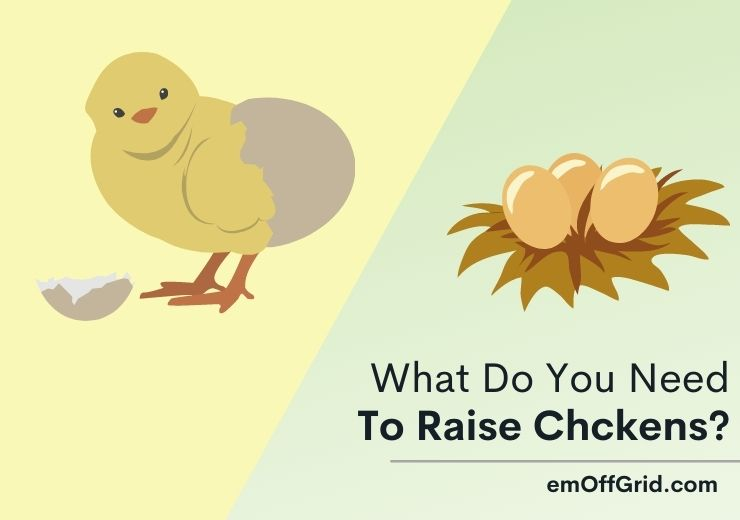What Do You Need To Raise Chickens
