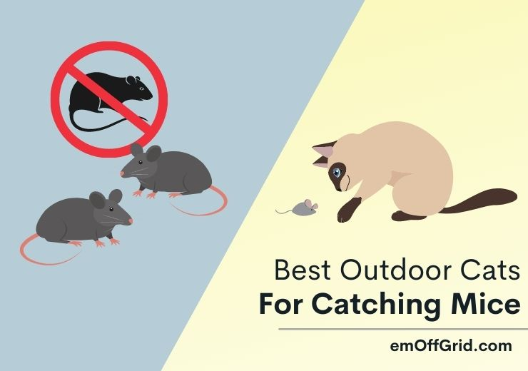 Best Outdoor Cats For Catching Mice