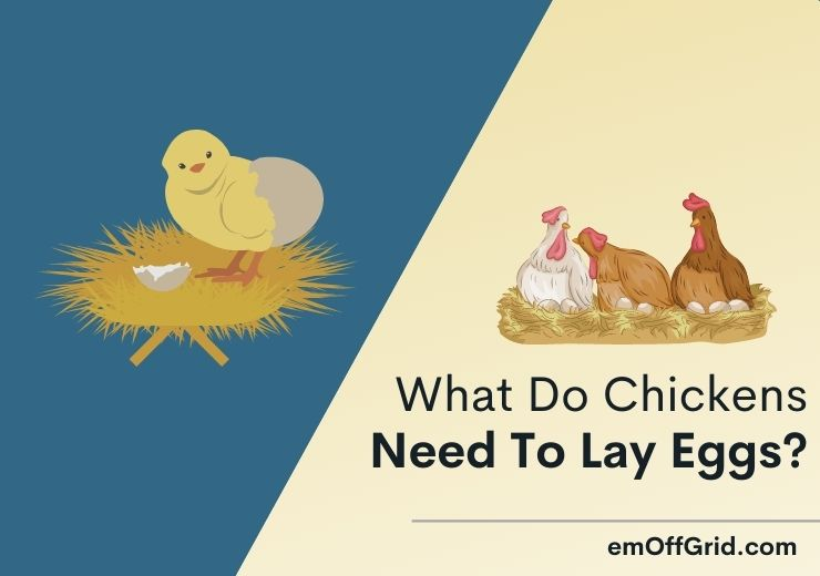 What Do Chickens Need To Lay Eggs
